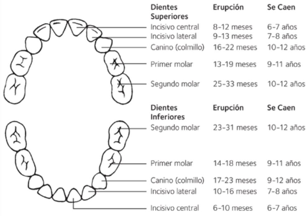 Tabla edades erupcióncaída dientes